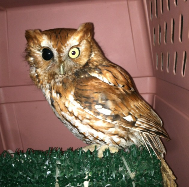 Injured Screech Owl Pepe Le Pew at Moon Raptor Center