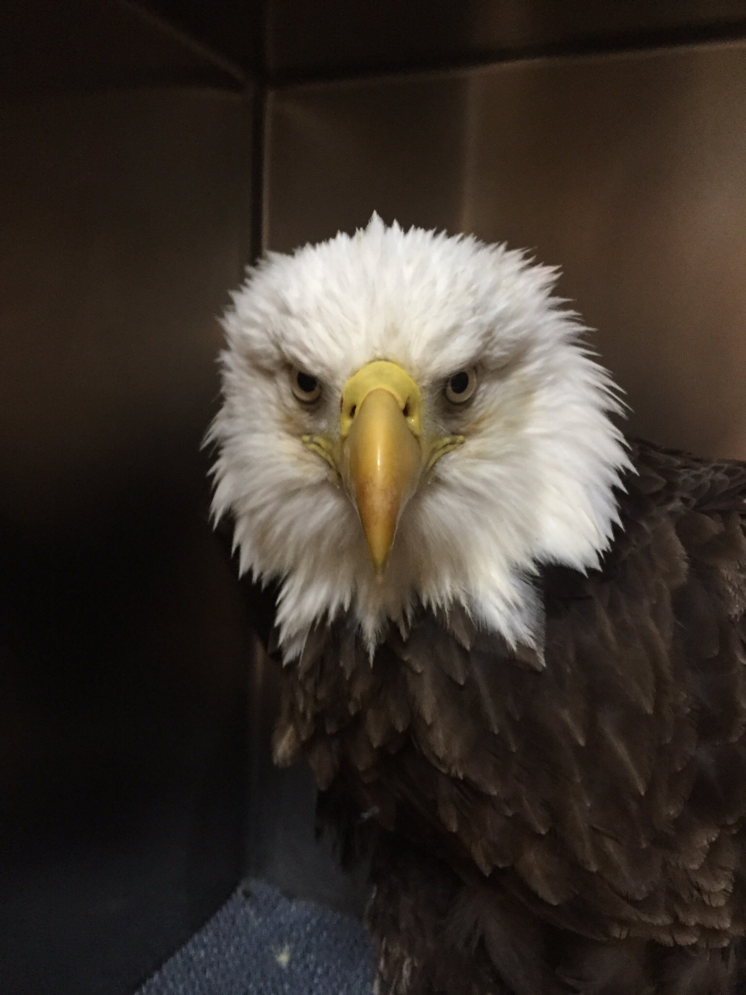 Blog owl moon raptor center trusts overall condition has been improving over the past few days her mouth mucous membranes is moist and pinker and she is becoming more feisty and rubansaba